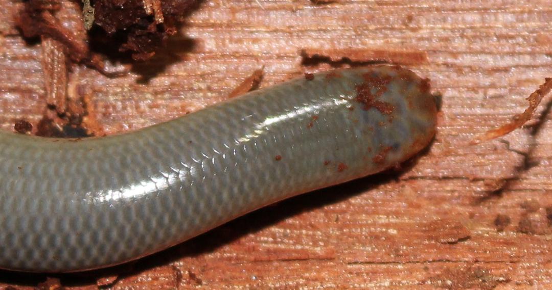 Blind Snakes (Anilios spp.)