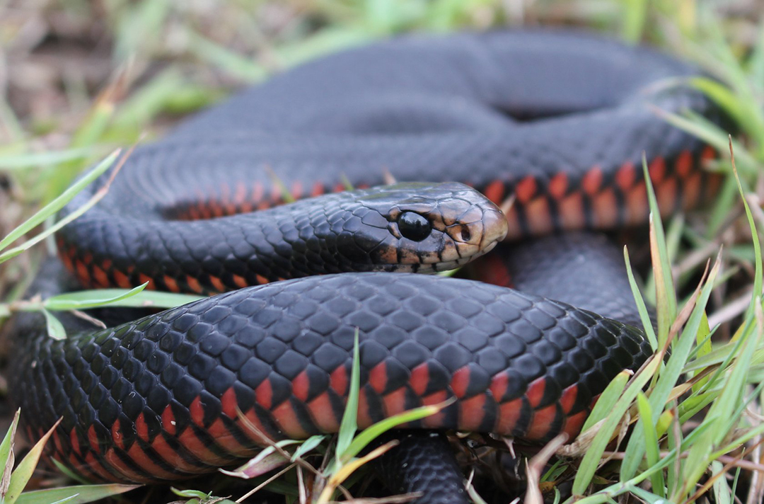 Red Bellied Black Snake, Pseudechis porphyriacus