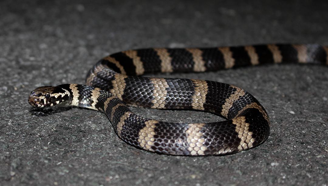 Stephen's Banded Snake (Hoplocephalus stephensii)